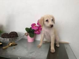 Labrador com poodle fêmea 100 ótimo para criança