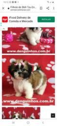 Procuro uma cachorrinha fêmea do  porte pequeno  de raça Shitzu ou piquines