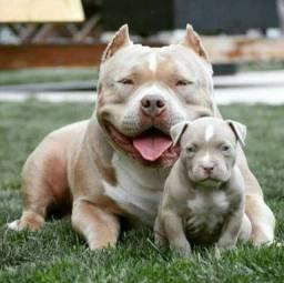 Os mais tops filhotes de Pitbull em até 12x!