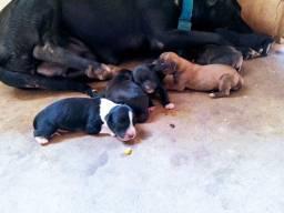 Filhotes Pitbull com fila