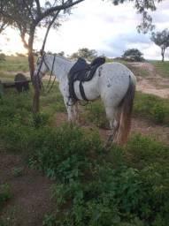 Cavalo mangalarga marchador de marcha picada genuíno.