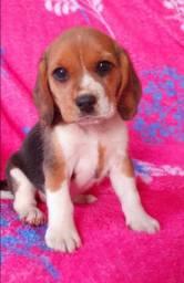 Beagle filhote 13 polegadas com pedigree e vacina importada