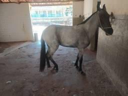 Égua Mangalarga Marchador registrada