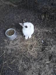 Filhote de coelho Netheland anão.