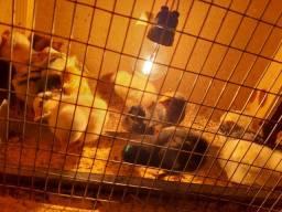Vendo pintinhos de galinha poadeiras