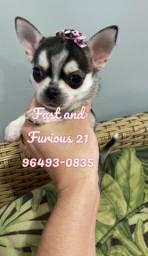 Filhote fêmea de Pêlo curto. Raça Chihuahua