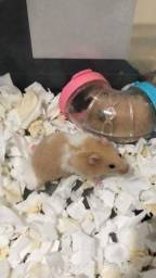 filhote de hamsters sírio