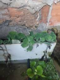 Alface D´agua - Planta flutuante para lagos e aquários.