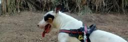Bull terrier,pra cobertura