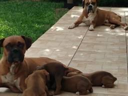 Cachorro boxer