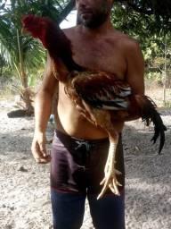Ovos galados Raça Índio Gigante
