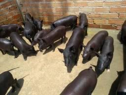 Vendo porcos caipiras, machos e fêmeas, valor a combinar