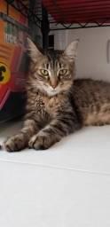 Gato fêmea (GRÁVIDA) SJC