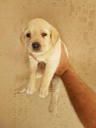 Labrador - fofura de filhotes