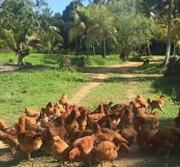 Vendemos galinha e frango caipira (capoeira)
