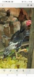 Vendo Galo Indio Gigante  98 cm e 3 galinhas  tudo 400 reias