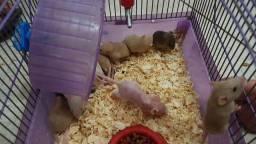 Título do anúncio: Promoção  Rato laboratório