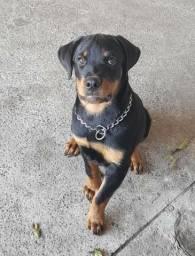 Título do anúncio: Vendo lindo filhote Macho de Rottweiler