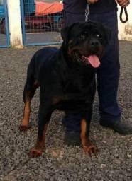 Rottweiler com pedigree macho