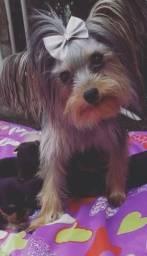 Lindo macho yorkshire terrier