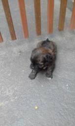 Filhotes de Lhasa Apso com poodle.