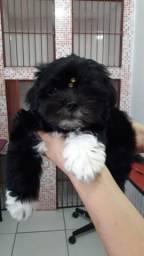 Vendo filhote de Shih-tzu - 2 meses -Macho