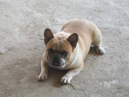 Bulldog Francês bluefaw