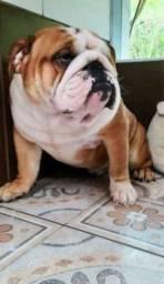 Bulldog Inglês macho para cobertura/cruza/inseminação.Ler anúncio
