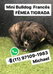 Mini Bulldogs Francês Fêmea Tigrada