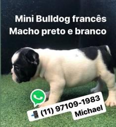 Mini Bulldogs Francês Macho preto e branco