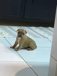 Título do anúncio: StaffBull - Staffordshire Bull terrier PEDIGREE