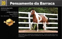 Garanhão Pampa Homozigoto