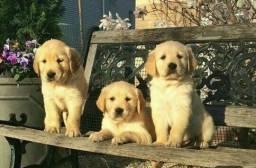 Filhotes de Golden Retriever Garantia & Pedigree