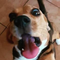 Beagle macho filhote 8 meses