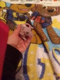 Vendo lindos ratinhos halles com 90 dias bem dóceis
