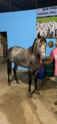 Título do anúncio: Vende-se cavalo macha batida extra