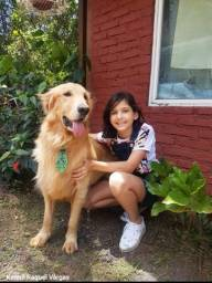 @canil kennil Raquel Vargas filhote raça Golden retriver pra reserva