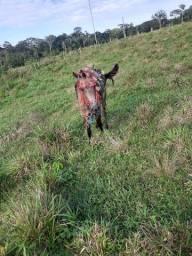 Domo cavalo deicho pronto no gado na lida