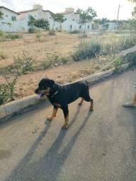Procuro Rottweiler fêmea pra cruzar