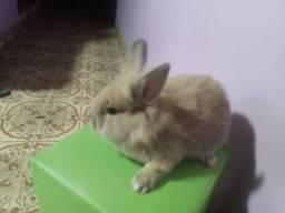 Título do anúncio: Mini-coelhos