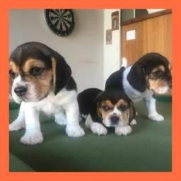 Beagle lindos bebês a pronta entrega