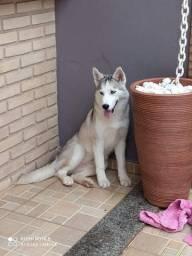 Vendo filhote fêmea de husky