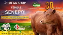 [[1F61]] Shop Senepol PO em 30 parcelas- Novilhas Prenhas elite ||