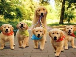 Título do anúncio: Lindos filhotes de golden a pronta entrega
