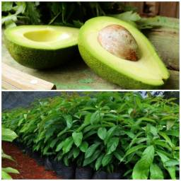 Título do anúncio: Mudas de abacate e outras frutas.