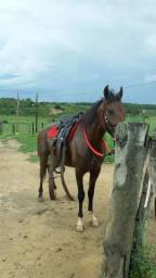 Cavalo mangalarga machador, marcha picada