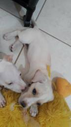 Filhote fêmea 3 messes, Labrador com Salsicha, vacinado . 250 reais