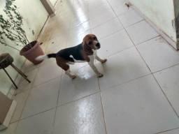 Beagle para cruzar.