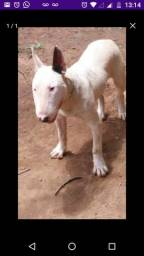 Bullterrier macho super dócil com 7 meses