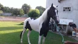 Cavalo mangalarga marchador e quarto de milha